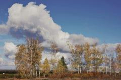 Arboleda con las hojas de descoloramiento, cielo azul del abedul del otoño del paisaje con las nubes Fotos de archivo libres de regalías