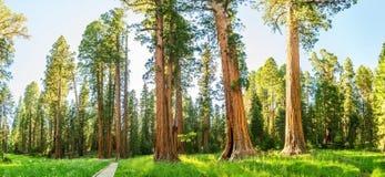 Arboleda con panorama gigante del bosque del árbol de pino Fotografía de archivo libre de regalías