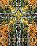 Arboleda cross4 de Aspen Fotografía de archivo libre de regalías
