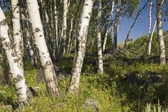 Arboleda de Aspen Imagen de archivo libre de regalías