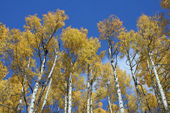 Arboleda de Aspen Fotos de archivo libres de regalías