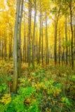Arboleda de Aspen en otoño Fotos de archivo libres de regalías