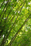 Arboleda de bambú Imagen de archivo libre de regalías