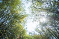 Arboleda de bamb? verde fresca foto de archivo