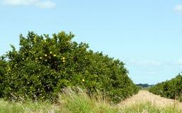 Arboleda de la fruta cítrica Imagen de archivo