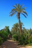 Arboleda de la palma en Marruecos Imágenes de archivo libres de regalías