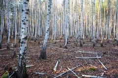 Arboleda de los árboles de abedul en otoño Foto de archivo libre de regalías