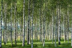 Arboleda de los árboles de abedul en verano con los troncos blancos y negros, las hojas verdes y la hierba verde en el piso del b fotografía de archivo libre de regalías