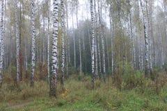 Arboleda de los árboles de abedul en el otoño temprano, panorama de la caída Fotos de archivo