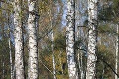 Arboleda de los árboles de abedul en el otoño temprano, panorama de la caída Imágenes de archivo libres de regalías