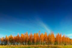Arboleda de los árboles de abedul en otoño Fotos de archivo
