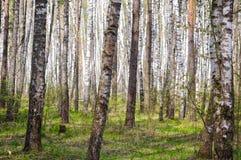 Arboleda de los árboles de abedul en primavera temprana Imagenes de archivo
