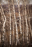 Arboleda de los árboles de abedul en primavera temprana Fotos de archivo libres de regalías