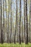 Arboleda de los árboles de abedul Paisaje del resorte Foto de archivo libre de regalías