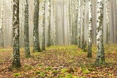 Arboleda de los árboles de abedul y de la hierba seca en otoño temprano Fotos de archivo libres de regalías