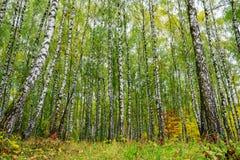 Arboleda de los árboles de abedul y de la hierba seca en otoño temprano Foto de archivo libre de regalías
