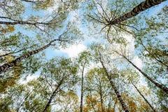 Arboleda de los árboles de abedul y de la hierba seca en otoño temprano Imagen de archivo