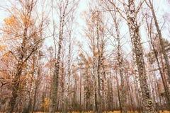 Arboleda de los árboles de abedul y en otoño Fotografía de archivo