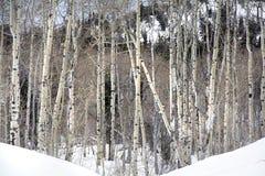 Arboleda de los árboles de Aspen en picos de montaña de Wasatch en Utah septentrional en el invierno Foto de archivo libre de regalías