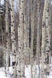 Arboleda de los árboles de Aspen en picos de montaña de Wasatch en Utah septentrional en el invierno Imagen de archivo libre de regalías