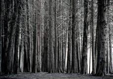Arboleda de los árboles de Cypress, blanco y negro Foto de archivo libre de regalías