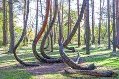 Arboleda de los árboles de pino extrañamente formados en bosque torcido Fotografía de archivo libre de regalías