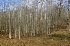 Arboleda de los árboles jovenes del álamo temblón Fotografía de archivo libre de regalías
