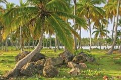 Arboleda de los árboles de coco, playa de Las Galeras, península de Samana Fotografía de archivo