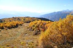Arboleda de oro hermosa del abedul del otoño en la montaña Imagen de archivo libre de regalías