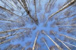 Arboleda de un gran número de abedules blancos en invierno y cielo azul Foto de archivo