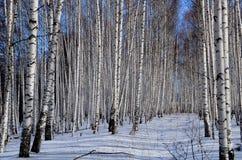 Arboleda de un gran número de abedules blancos en invierno y cielo azul Foto de archivo libre de regalías