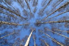 Arboleda de un gran número de abedules blancos en invierno y cielo azul Fotografía de archivo libre de regalías