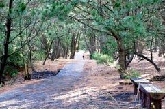 Arboleda del árbol de pino Foto de archivo