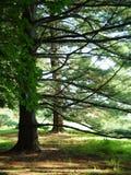 Arboleda del árbol de pino Foto de archivo libre de regalías