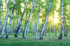 Arboleda del abedul Amanecer en el bosque Imagen de archivo libre de regalías