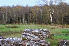 Arboleda del abedul con el helecho y el brezo Foto de archivo