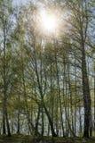 Arboleda del abedul con follaje joven de la primavera Foto de archivo