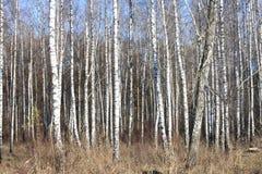 Arboleda del abedul con los árboles de abedul negro-blancos Imágenes de archivo libres de regalías