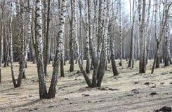 Arboleda del abedul con los árboles de abedul negro-blancos Fotos de archivo libres de regalías