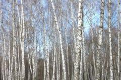 Arboleda del abedul con los árboles de abedul negro-blancos Fotografía de archivo libre de regalías