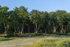 Arboleda del abedul con los árboles doblados Fotos de archivo libres de regalías