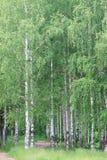 Arboleda del abedul con los árboles verdes altos Fotografía de archivo