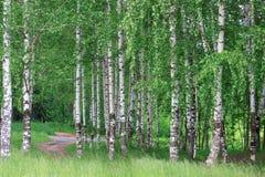 Arboleda del abedul con los árboles verdes hermosos Fotografía de archivo libre de regalías