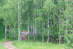 Arboleda del abedul con los árboles verdes hermosos Imágenes de archivo libres de regalías