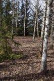 Arboleda del abedul con muchos árboles Fotografía de archivo