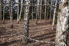 Arboleda del abedul con muchos árboles Imágenes de archivo libres de regalías