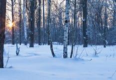 Arboleda del abedul con nieve en invierno Fotos de archivo libres de regalías