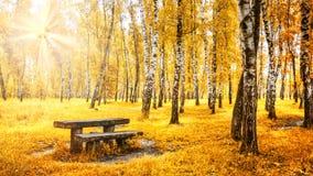 Arboleda del abedul con un banco y tabla en día soleado del otoño Imagen de archivo libre de regalías