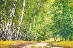 Arboleda del abedul con un camino en día de verano soleado Fotos de archivo libres de regalías