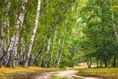 Arboleda del abedul con un camino en día de verano soleado Fotografía de archivo libre de regalías